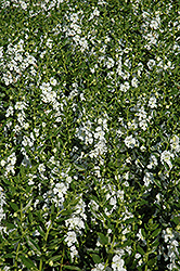 Angelface® White Angelonia (Angelonia angustifolia 'Angelface White') at Schaefer Greenhouses
