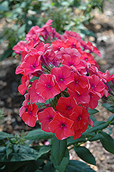 Coral Flame Garden Phlox (Phlox paniculata 'Barsixtytwo') at Schaefer Greenhouses