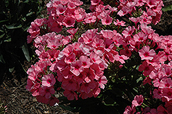 Light Pink Flame Garden Phlox (Phlox paniculata 'Bareleven') at Schaefer Greenhouses