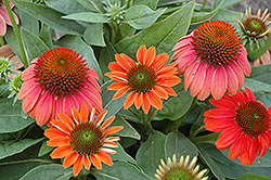 Sombrero® Hot Coral Coneflower (Echinacea 'Balsomcor') at Schaefer Greenhouses