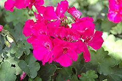 Calliope® Lavender Rose Geranium (Pelargonium 'Calliope Lavender Rose') at Schaefer Greenhouses
