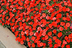 SunPatiens® Compact Electric Orange New Guinea Impatiens (Impatiens 'SunPatiens Compact Electric Orange') at Schaefer Greenhouses