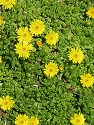 Yellow Ice Plant (Delosperma nubigenum) at Schaefer Greenhouses