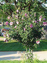 Aphrodite Rose of Sharon (Hibiscus syriacus 'Aphrodite') at Schaefer Greenhouses