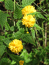 Double Flowered Japanese Kerria (Kerria japonica 'Pleniflora') at Schaefer Greenhouses