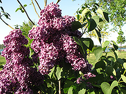 Monge Lilac (Syringa vulgaris 'Monge') at Schaefer Greenhouses