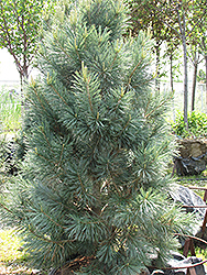 Vanderwolf's Pyramid Pine (Pinus flexilis 'Vanderwolf's Pyramid') at Schaefer Greenhouses