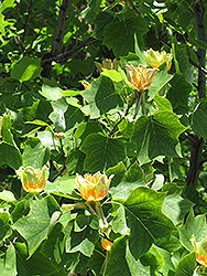 Tuliptree (Liriodendron tulipifera) at Schaefer Greenhouses