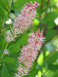 Ruby Spice Summersweet (Clethra alnifolia 'Ruby Spice') at Schaefer Greenhouses