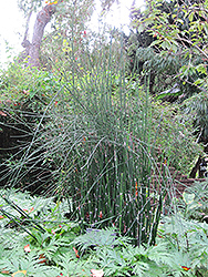 Horsetail (Equisetum hyemale) at Schaefer Greenhouses