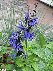 Black And Blue Anise Sage (Salvia guaranitica 'Black And Blue') at Schaefer Greenhouses