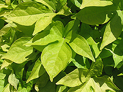 Sweet Caroline Light Green Sweet Potato Vine (Ipomoea batatas 'Sweet Caroline Light Green') at Schaefer Greenhouses