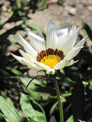 Kiss White Gazania (Gazania 'Kiss White') at Schaefer Greenhouses