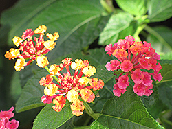 Luscious® Citrus Blend™ Lantana (Lantana camara 'Luscious Citrus Blend') at Schaefer Greenhouses