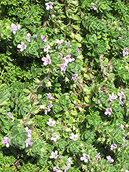 Pink Chintz Creeping Thyme (Thymus praecox 'Pink Chintz') at Schaefer Greenhouses