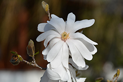 Star Magnolia (Magnolia stellata) at Schaefer Greenhouses