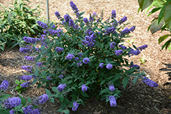 Lo And Behold® Blue Chip Dwarf Butterfly Bush (Buddleia 'Lo And Behold Blue Chip') at Schaefer Greenhouses
