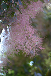 Royal Purple Smokebush (Cotinus coggygria 'Royal Purple') at Schaefer Greenhouses