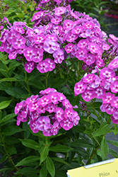 Laura Garden Phlox (Phlox paniculata 'Laura') at Schaefer Greenhouses