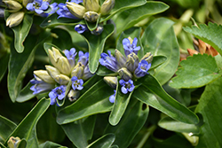 Blue Cross Gentian (Gentiana cruciata 'Blue Cross') at Schaefer Greenhouses
