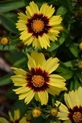 UpTick™ Yellow and Red Tickseed (Coreopsis 'Baluptowed') at Schaefer Greenhouses