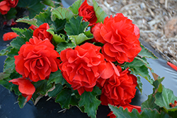 Nonstop® Red Begonia (Begonia 'Nonstop Red') at Schaefer Greenhouses