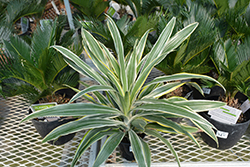 Warneckii Dracaena (Dracaena deremensis 'Warneckii') at Schaefer Greenhouses