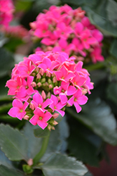 Hot Pink Kalanchoe (Kalanchoe blossfeldiana 'Hot Pink') at Schaefer Greenhouses