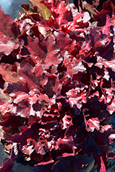 Forever® Red Coral Bells (Heuchera 'Forever Red') at Schaefer Greenhouses
