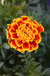 Durango Bee Marigold (Tagetes patula 'Durango Bee') at Schaefer Greenhouses
