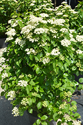 Autumn Jazz Viburnum (Viburnum dentatum 'Ralph Senior') at Schaefer Greenhouses