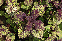 Fishnet Stockings Coleus (Solenostemon scutellarioides 'Fishnet Stockings') at Schaefer Greenhouses