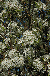 Chanticleer Ornamental Pear (Pyrus calleryana 'Chanticleer') at Schaefer Greenhouses