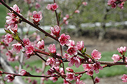 Reliance Peach (Prunus persica 'Reliance') at Schaefer Greenhouses