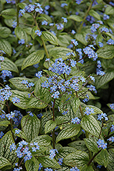 Silver Heart Bugloss (Brunnera macrophylla 'Silver Heart') at Schaefer Greenhouses