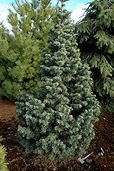 Compact White Fir (Abies concolor 'Compacta') at Schaefer Greenhouses