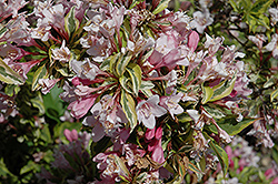 Rainbow Sensation® Weigela (Weigela florida 'Kolmagira') at Schaefer Greenhouses