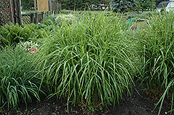 Porcupine Grass (Miscanthus sinensis 'Strictus') at Schaefer Greenhouses