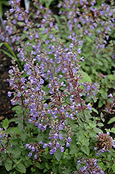 Purrsian Blue Catmint (Nepeta x faassenii 'Purrsian Blue') at Schaefer Greenhouses