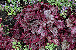 Dolce® Blackberry Ice Coral Bells (Heuchera 'Blackberry Ice') at Schaefer Greenhouses