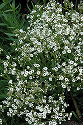 Festival™ Star Baby's Breath (Gypsophila paniculata 'Festival Star') at Schaefer Greenhouses