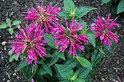 Pardon My Purple Beebalm (Monarda didyma 'Pardon My Purple') at Schaefer Greenhouses