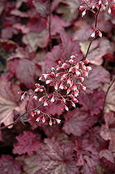 Berry Smoothie Coral Bells (Heuchera 'Berry Smoothie') at Schaefer Greenhouses