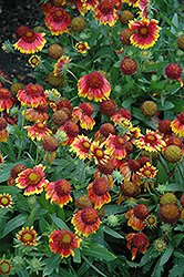 Arizona Sun Blanket Flower (Gaillardia x grandiflora 'Arizona Sun') at Schaefer Greenhouses