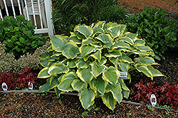 Seducer Hosta (Hosta 'Seducer') at Schaefer Greenhouses