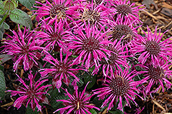 Balmy Purple Beebalm (Monarda didyma 'Balbalmurp') at Schaefer Greenhouses