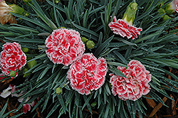 Coral Reef Pinks (Dianthus 'WP07OLDRICE') at Schaefer Greenhouses