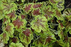 Solar Eclipse Foamy Bells (Heucherella 'Solar Eclipse') at Schaefer Greenhouses