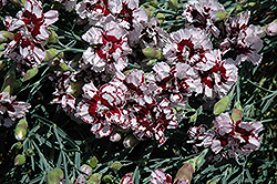 Coconut Punch Pinks (Dianthus 'Coconut Punch') at Schaefer Greenhouses