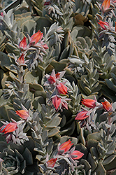Topsy Turvy Echeveria (Echeveria runyonii 'Topsy Turvy') at Schaefer Greenhouses